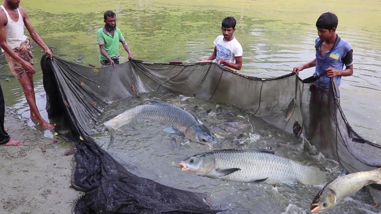 Pabda fish silver carp fish mixed farming fisherman for Big fishing net