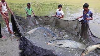 Pabda fish & Silver Carp fish Mixed Farming   Fisherman Catching Big carp fish with fishing net