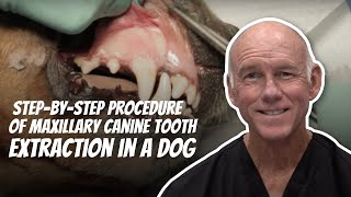Maxillary Canine Tooth Extraction in the Dog