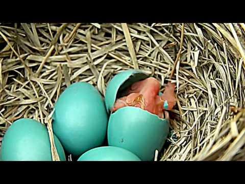 Lihat Proses Melahirkan, Detik-detik Burung Keluar Dari Telurnya