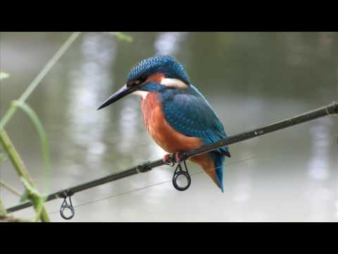 The Kingfisher (video 6)