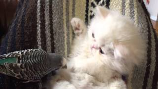 White Persian kitten interacts with friendly parrot