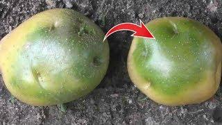 видео Можно ли есть зеленую картошку