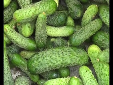 Gherkin Cultivation is profitable – says Warangal Farmer