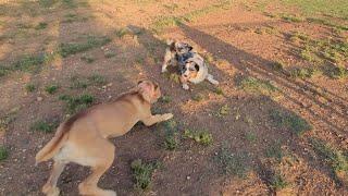 Australian shepherd challenges Cane Corsos at Dog Park