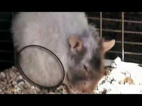 Male Rats fed Aspartame, Resulting Tumors - YouTube