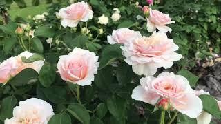 Английские розы Инглиш гарден и Королева Швеции 🌹открытие прошлого года 💯👍