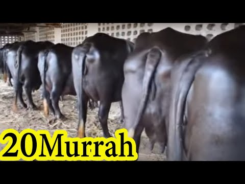 20 Murrah buffalo for sale directly from village in Punjab