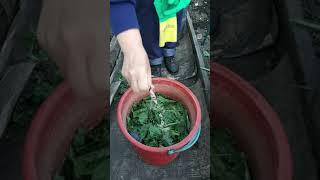 Самая лучшая зеленая подкормка из крапивы с дрожжами!