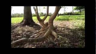 Removing girdling roots for tree health and longevity