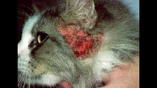tratament raie auriculara la pisici human papillomavirus po polsku