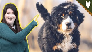 How To Find The PERFECT BREEDER For A BERNESE MOUNTAIN DOG