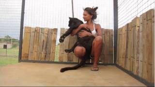 Black leopard jumps into woman