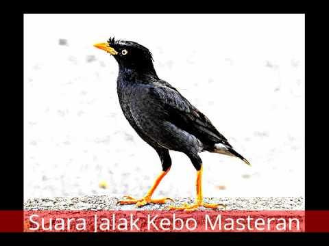 Suara Jalak Kebo Gacor, Cocok Untuk Masteran