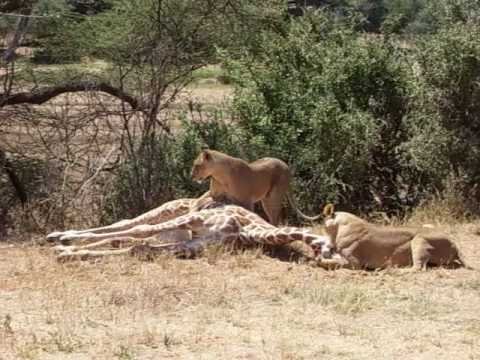 Lion attacks and kills young Giraffe - YouTube