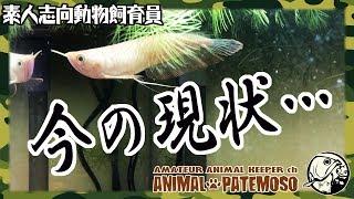 アルビノ シルバーアロワナ ショートボディの現状【アクアリウム】【熱帯魚】