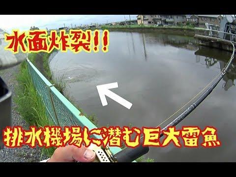 住宅街脇の排水機場に群がる巨大雷魚を釣り上げる!モンスター雷魚2連発!! snakehead fishing in Japan