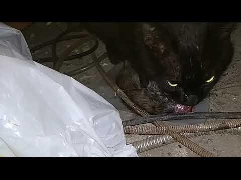 Наш кот на следующий день после кастрации.