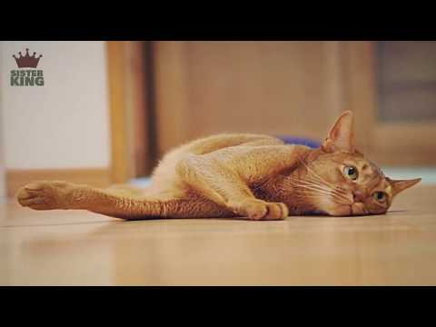 100 Abyssinian Cat Funny Face