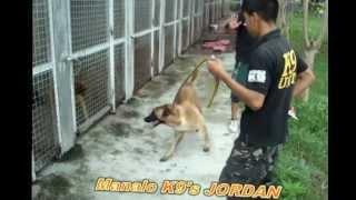Manalo K9's JORDAN, Patrol / Protection Dog Trainee - SOLD TO RYAN RELATOR of Kalibo, Aklan