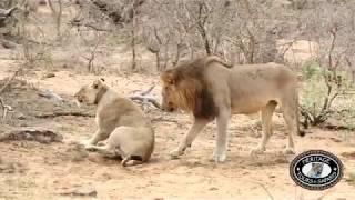 Hluhluwe Imfolozi Park Lions Mating