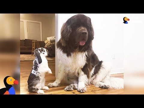Bunny And Dogs Are The Best Of Friends - GIMLI & SAMWISE | The Dodo BEST FRIENDS DAY