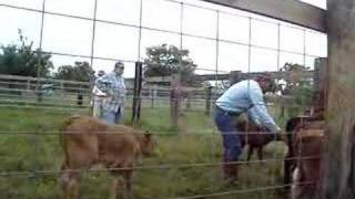 Working Cattle 4