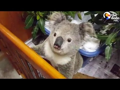 Koala With Broken Leg Gets The Care She Needs To Go Back Home