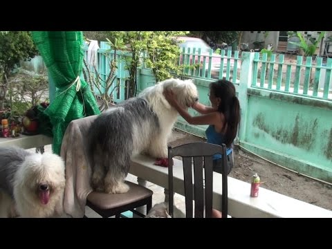 Olde English Sheepdog Tails Vol LXXIX Playtime with Lolly