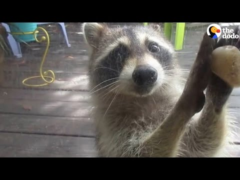 Raccoon Knows Exactly How To Get More Food