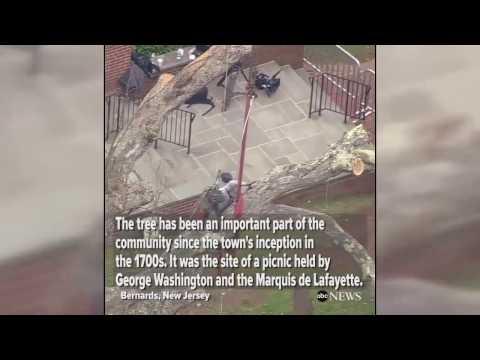600-year-old oak tree torn down in New Jersey