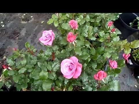 Саженцы роз в наличии с доставкой