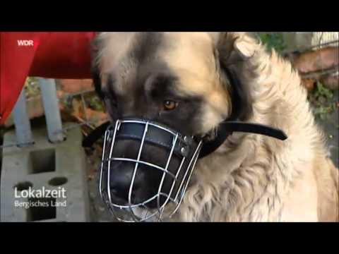 Germanischer Bärenhund - Gefährlicher Hund?