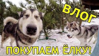 ВЛОГ: ПОКУПКА ЕЛКИ! Собаки породы хаски и маламут посетили свадебную фотосессию , свадьба с хаски!