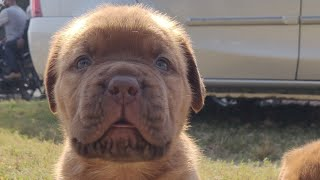 French Mastiff Puppy for Sale || French Mastiff Dog Facts In Hindi  Popular Dogs || Doggyz World