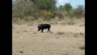 Patagonia Argentina wild boar hunt with bow