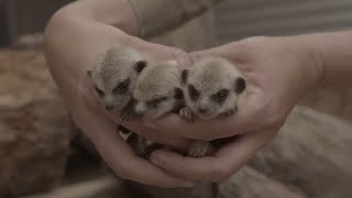 Month-old meerkat triplets make their way in the world thumbnail
