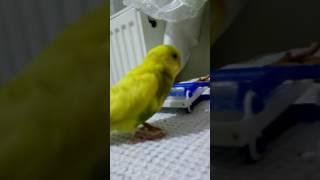 Barfiks çeken sayko muhabbet kuşu