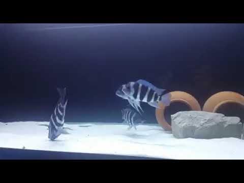 Frontosa Akvaryumu Siyah Fon Beyaz Kum