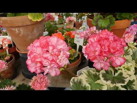Care Of Pelargoniums In Summer.