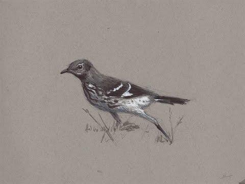 Sketching An Angry Northern Mockingbird