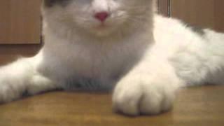 Cat breathes like a dog (Кошка дышит как собака)
