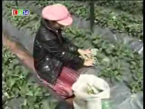 mô hình trồng cây dâu tây