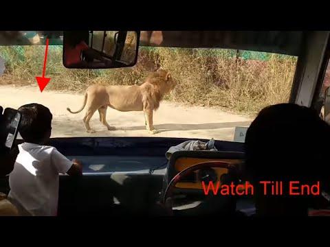 "Lion Safari at Sri Venkateswara Zoological park Tirupati Andhra Pradesh India || ""TIRUPATI ZOO"""