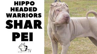 Hippo Headed Warriors  SHAR PEI Dog Breed! DogCastTV!