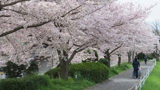 2017年 京都 山科川縁 散歩道 満開の桜
