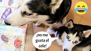 Día divertido en Clase con mis perros ¡No les gusta ir al colegio!🤣 || Max the husky