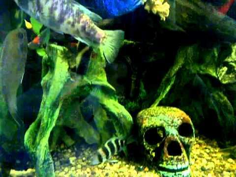 Acuario con peces amazonicos youtube for Peceras con peces