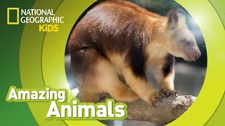 Tree Kangaroo | Amazing Animals