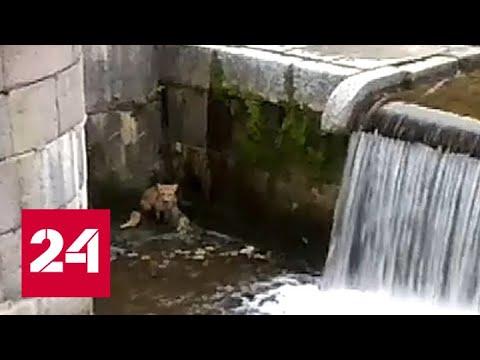 Смотреть фото Спасение лисы из фонтана в Петергофе попало на видео - Россия 24 новости Россия